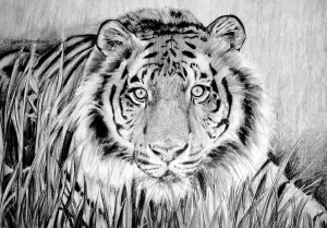 crouching_tiger_by_sarah789-d2g19nh