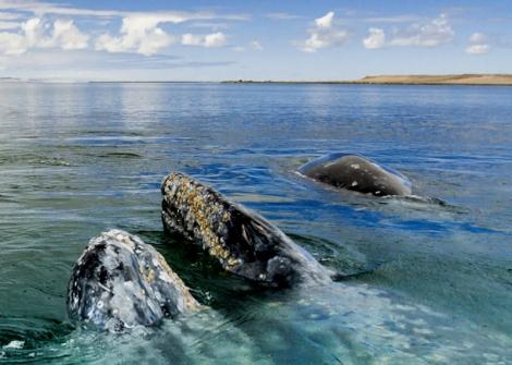 ballenas en san ignacio.jpg