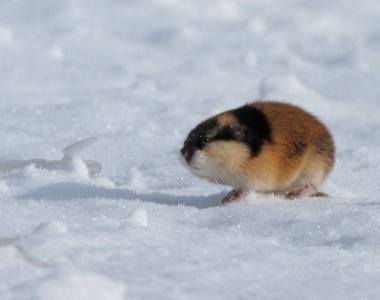 norway-lemming-1