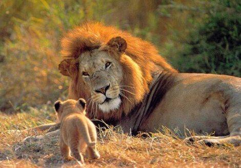 que-comen-los-leones.jpg
