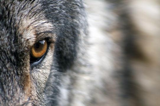 denuncias-ataque-lobo
